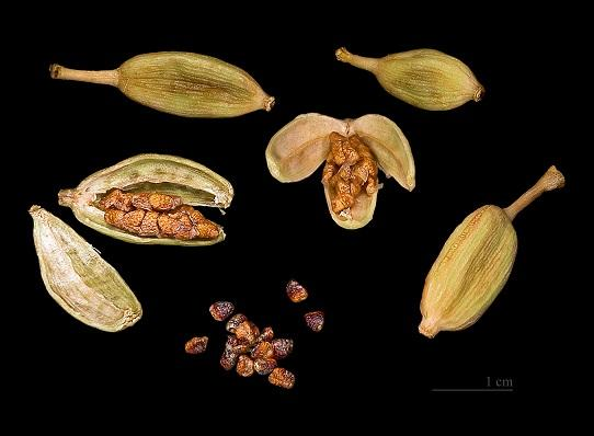Elettaria cardamomum capsules and seeds 1