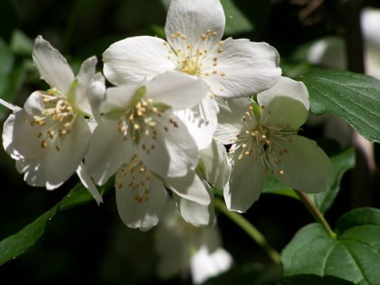 Falscher jasmin im botanischen garten erlangen